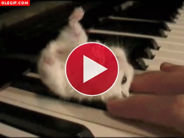 GIF: Hámster sobre un piano
