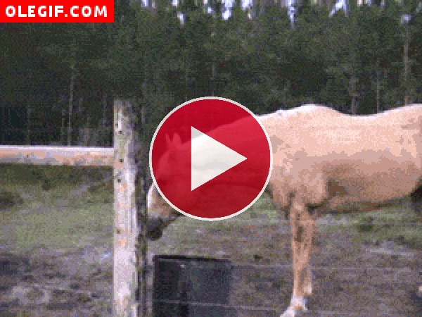 GIF: Corre que viene la vaca