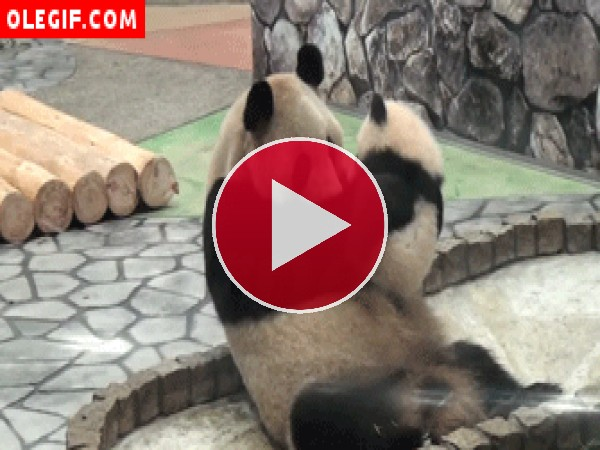 GIF: El amor de un panda por su madre