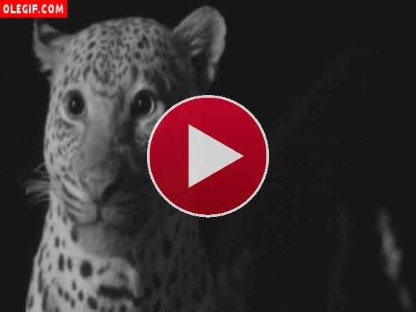 Leopardo relamiéndose
