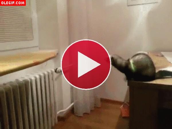 GIF: El salto fallido de un hurón