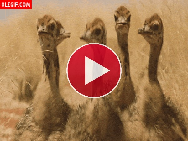 GIF: El baile de las avestruces