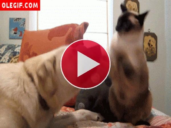 GIF: Gato boxeador