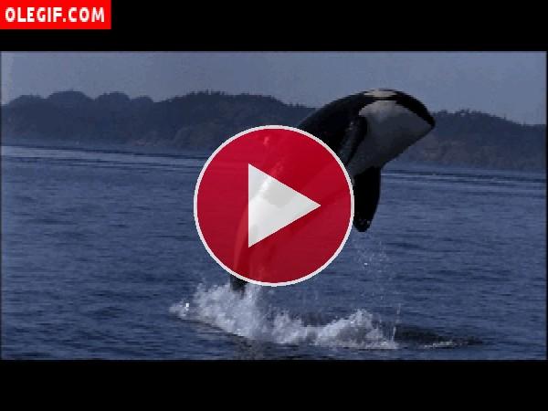 GIF: Orca saltando en el mar