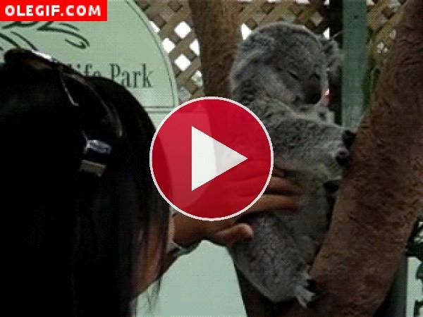 Koala moviendo las orejas