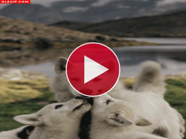 Mira a estos lobos dando mordisquitos a mamá