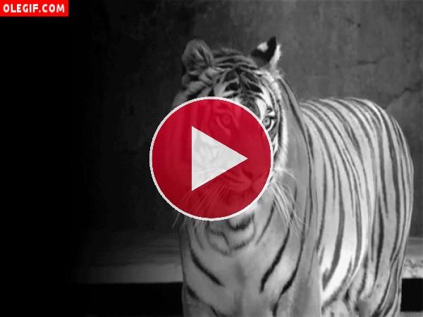 GIF: Soy un tigre enojado, no te acerques