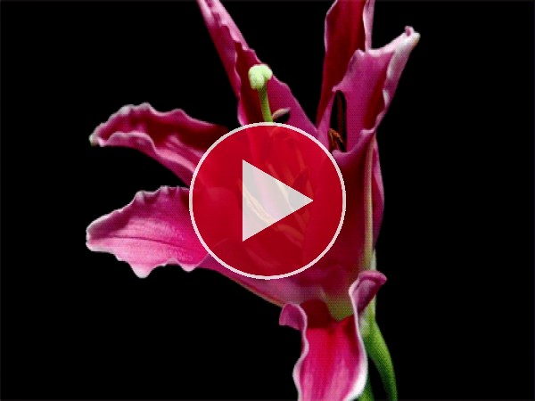 GIF: Hermoso lilium abriendo sus pétalos
