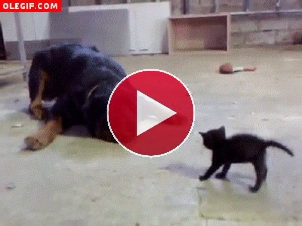 GIF: Mira como este pequeño gato pone en pie al perro