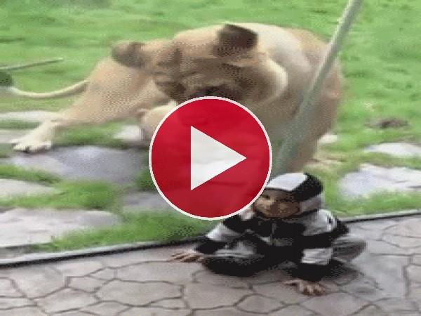 GIF: Esta leona se agita al tener tan cerca un bocado tan apetitoso