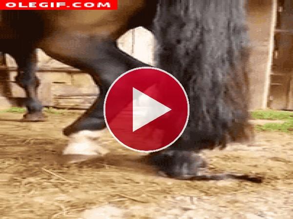 GIF: A este gato le gusta practicar escalada en la cola de un caballo