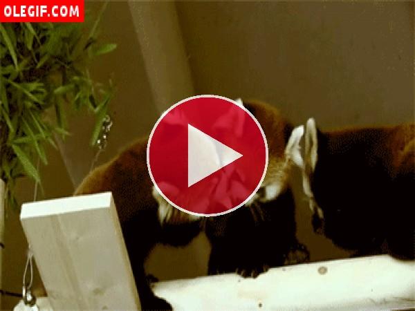 Mira como el panda rojo le roba la comida a su compañero