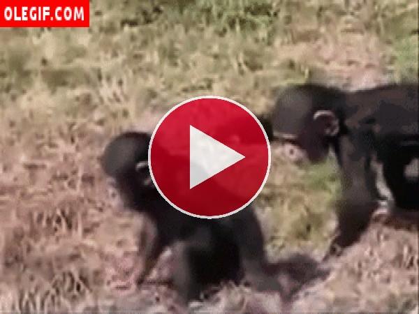 Mira la trastada de este pequeño chimpancé