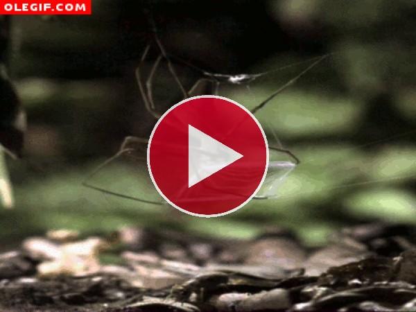 Mira el momento en el que esta araña captura al grillo