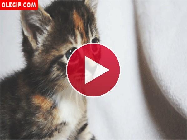 GIF: Este gatito mueve las orejas cuando maulla