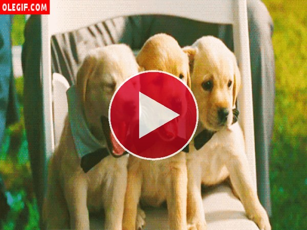 Mira cómo bostezan estos elegantes cachorros