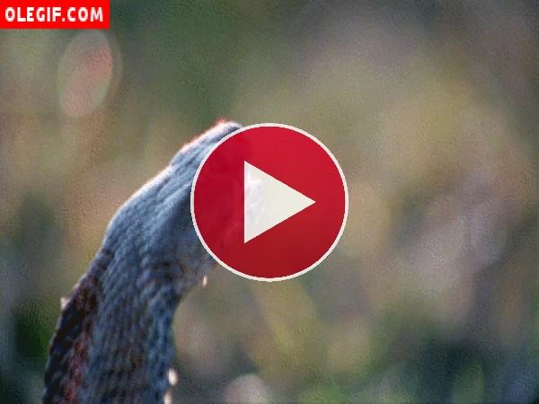 GIF: Vaya chorros de veneno lanza esta serpiente