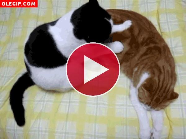 Mira a este gato dando un masaje a su compañero de piso