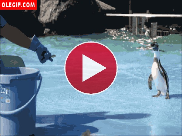GIF: Mira cómo resbala este pingüino al coger un pescado