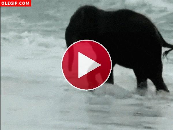 Lo que disfruta este elefante jugando entre las olas del mar