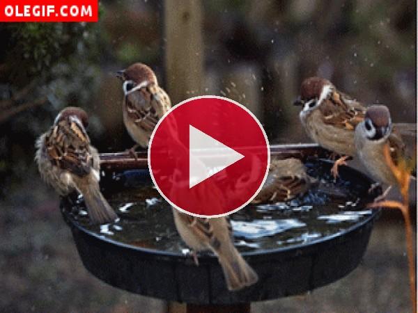 Cómo disfrutan estos pájaros chapoteando en la fuente