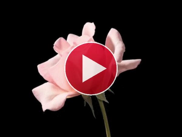 Mirad cómo abre sus pétalos esta rosa