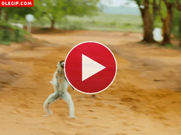 GIF: Este lémur se lo pasa pipa saltando por el camino