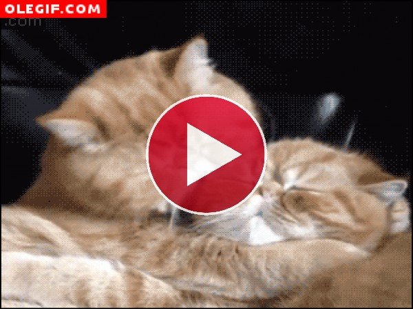 GIF: A este gato le encanta morder los mofletes a otros gatos