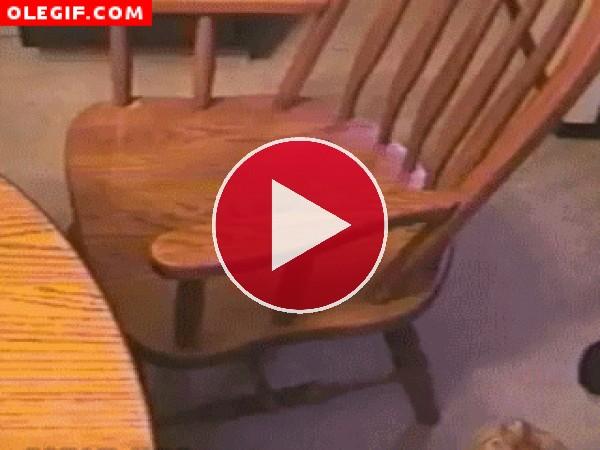 Vaya agilidad tiene este gato que da una voltereta en la silla