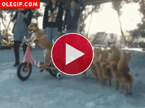 GIF: Estos perros bailan la conga tras una bici