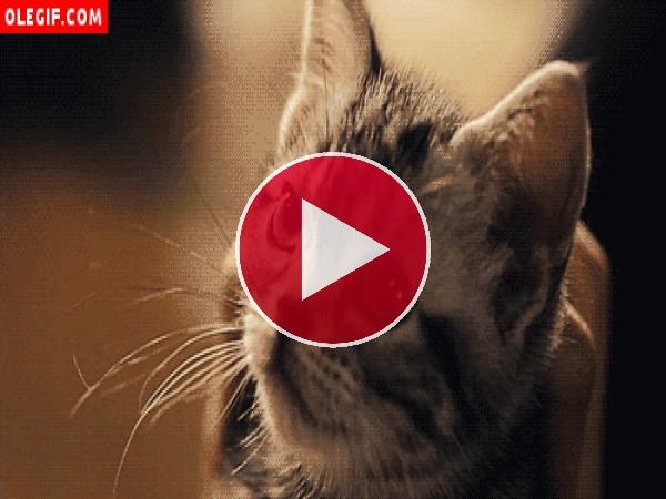 GIF: ¿Qué querrá este gatito que tanto maulla?