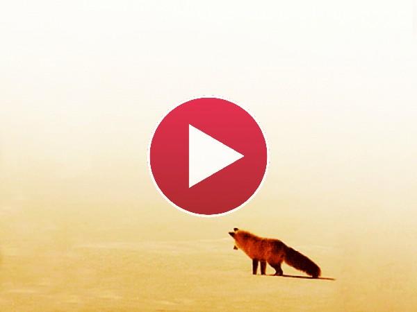 GIF: Este zorro tiene tanto calor que necesita esconderse bajo la arena del desierto