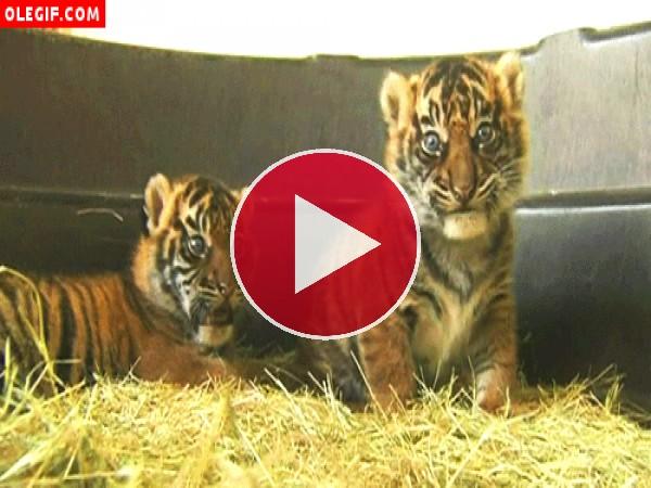 GIF: Qué habrá comido este cachorro de tigre que no para de relamerse