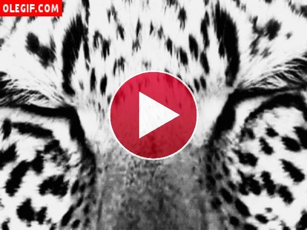 GIF: Y de repente el leopardo nos muestra sus lindos ojos