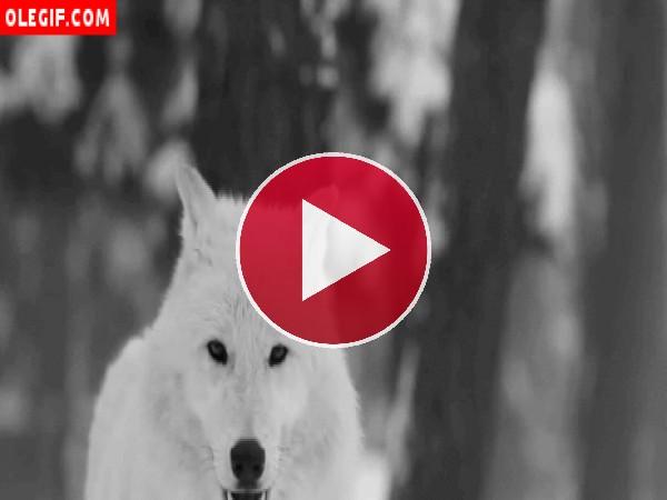 GIF: Mirad cómo aulla el lobo blanco