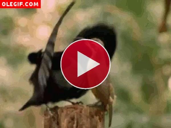 GIF: Este macho espanta a la hembra en mitad del cortejo