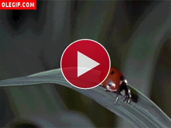 Mirad cómo rueda la mariquita tras el fuerte impacto