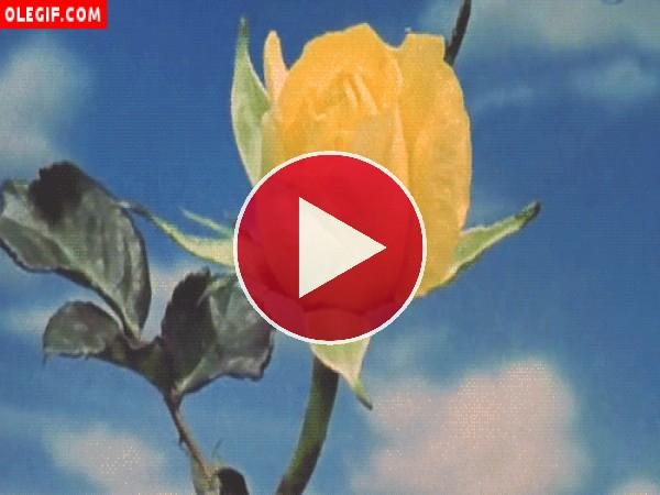 GIF: Qué rápido abre los pétalos esta rosa amarilla
