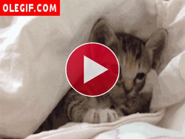 Mirad cómo bosteza este gatito bajo las sábanas