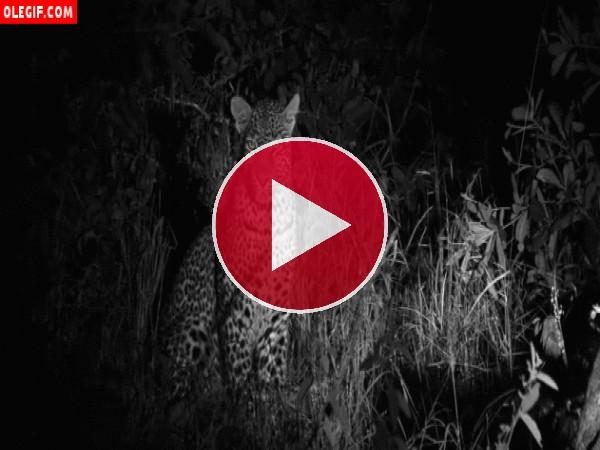 GIF: Leopardo vigilando en la noche