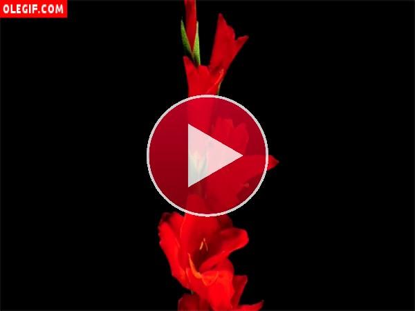 Observa estas flores de gladiolo abriéndose lentamente