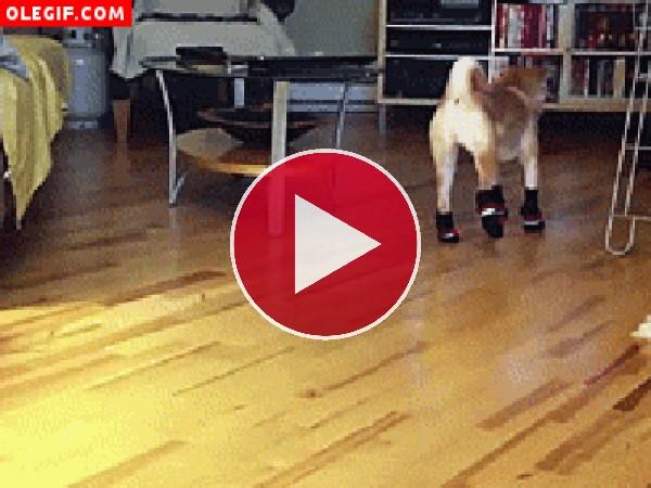 Este perro no camina bien por culpa de los calcetines
