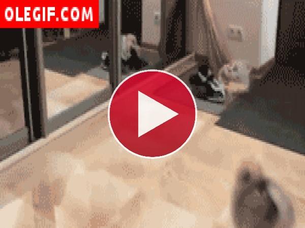 Mira a este perro qué golpe que se da contra el espejo