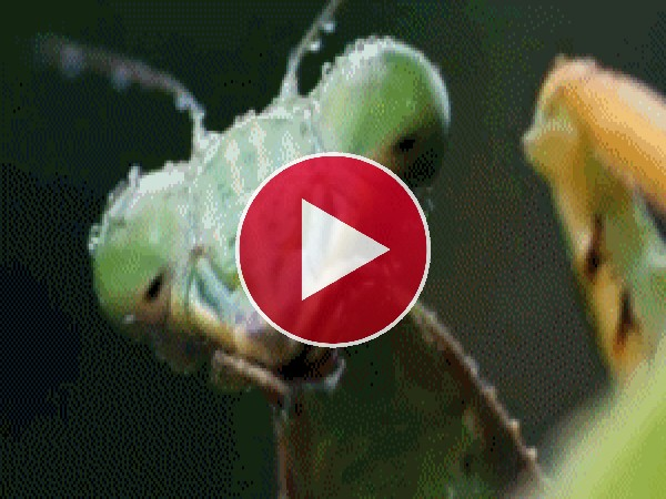GIF: Mira cómo cazan a esta mantis