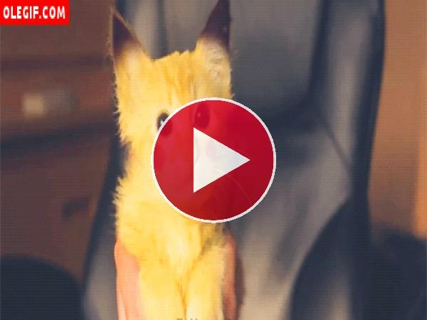 GIF: Mira qué mono es el gato Pikachu