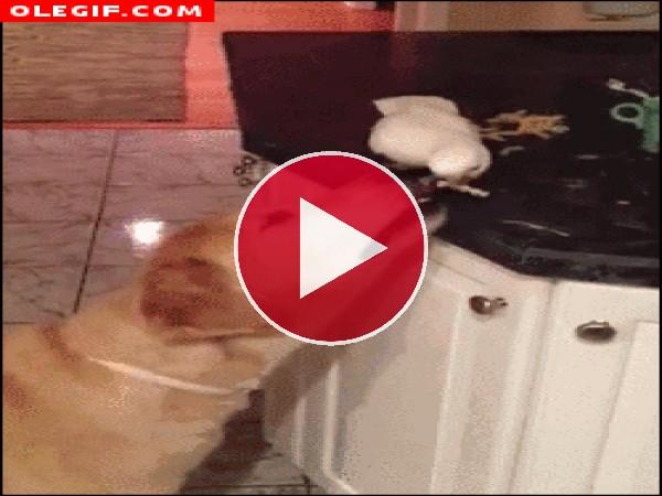 Mirad a esta cacatua dando comida al perro