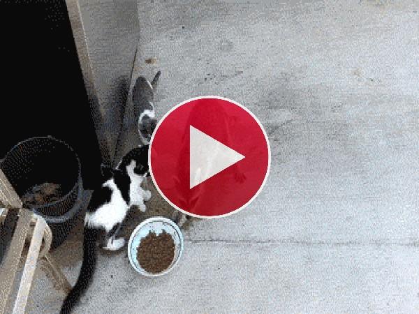 GIF: Estos gatos se quedan alucinados al ver cómo el mapache les roba su comida