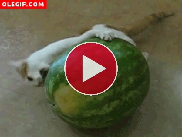 Gato peleándose con una sandía