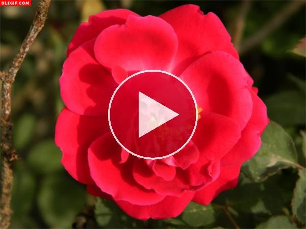 GIF: Rosa abriendo sus últimos pétalos