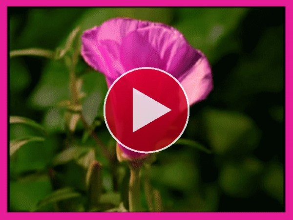 Flor rosa moviendo sus pétalos